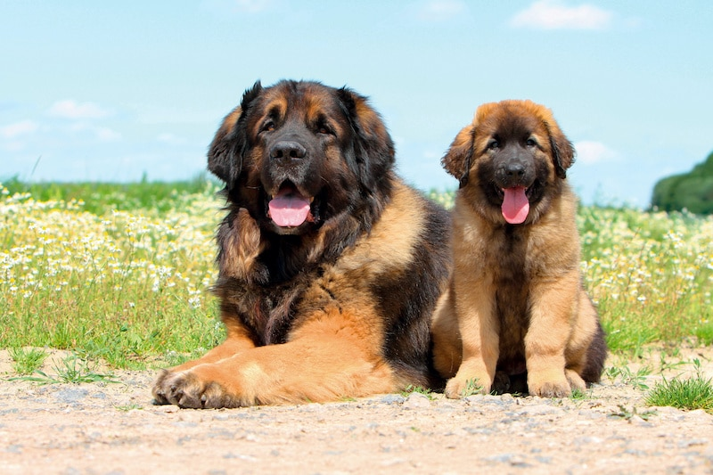 Happy adult Leonberger laying with puppy Leo in field