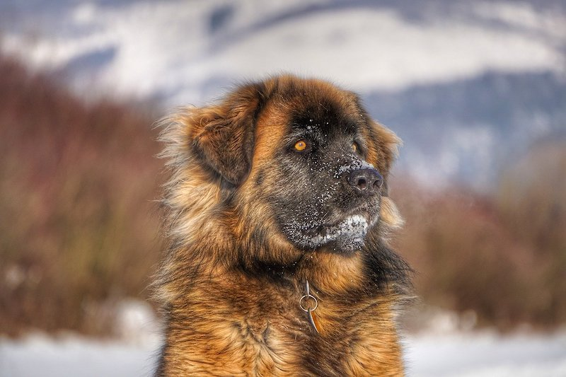 Brown Leonberger in snow surrounded by trees and mountains.
