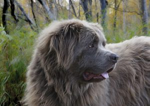 Newfie Dog with brown coat