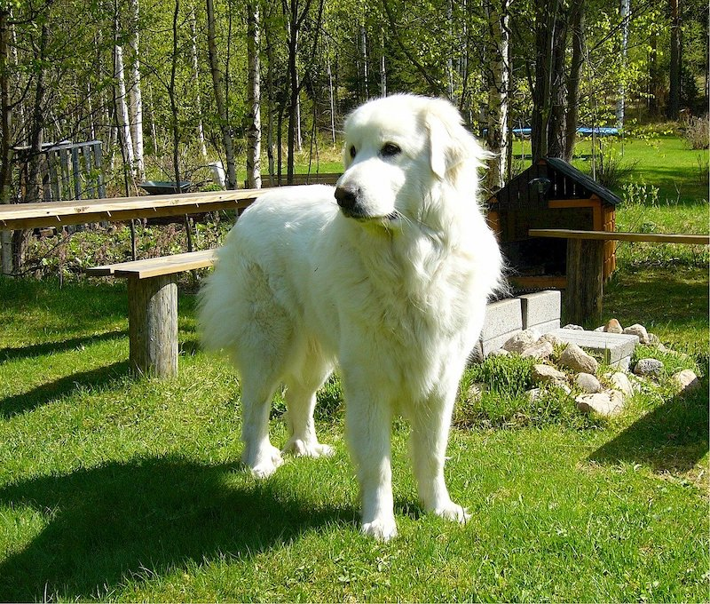Pyrenean Mountain Dog standing on green grass at park looking into the distance.
