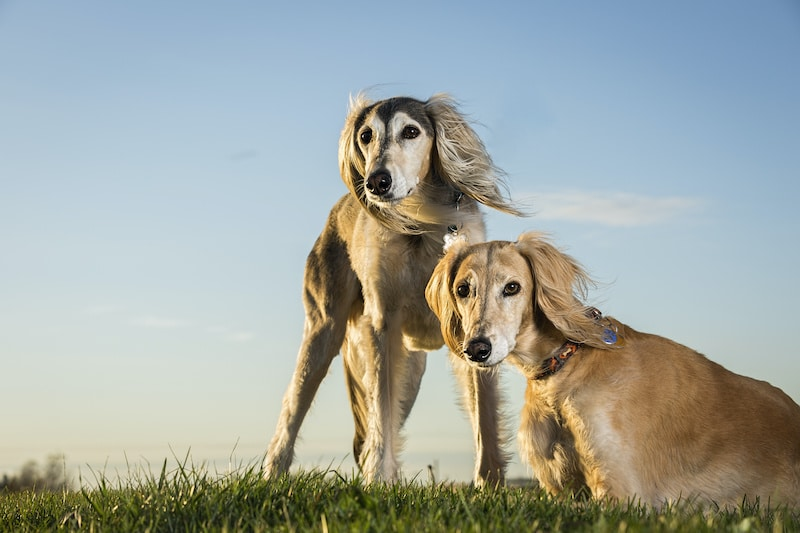 Two Saluki breed dogs on grass, one is standing while the other is sitting.