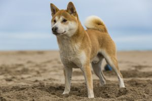 A Shiba Inu dog standing on the sand of the beach while paying attention at something