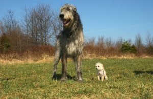 Small Dog standing next to large Wolfhound on grass