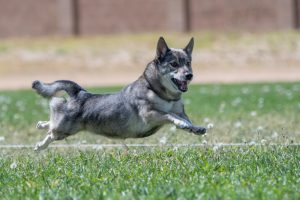 Swedish Vallhund dog breed with no feet on the ground chasing a lure in a race.