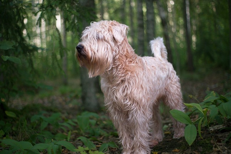Wheaten dog breed standing in forest