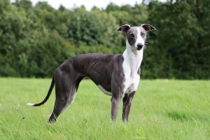 Whippet standing in park surrounded by green grass and trees.