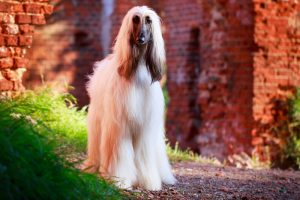 White Afghan Hound dog standing outside next to brick archway.