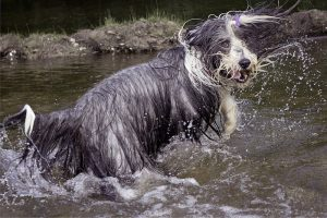 Bearded Collie playing in water.