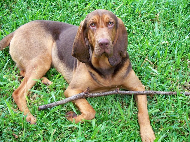 Black and Liver Bloodhound laying on green grass.