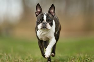 Purebred Boston Terrier outdoors in the nature on a sunny day.
