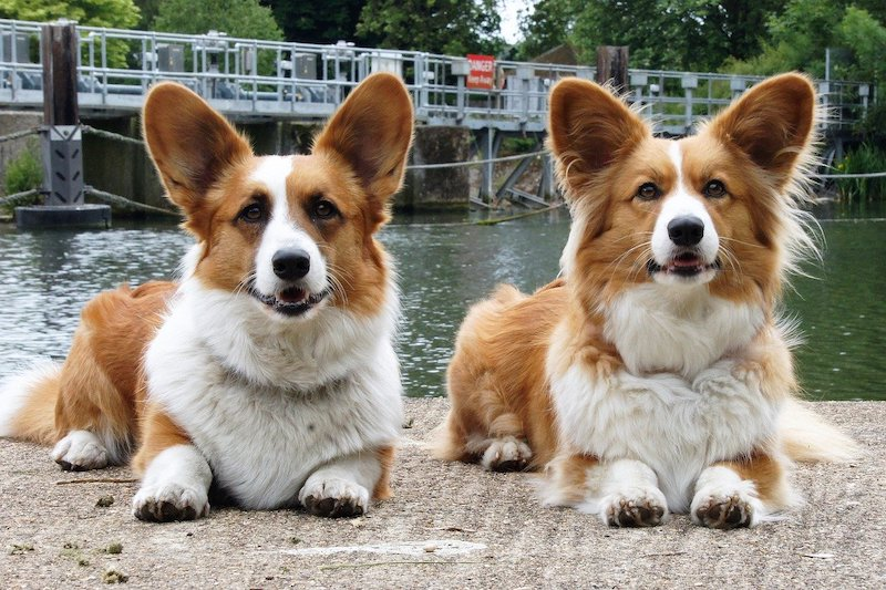 Two red and white Cardi dogs sitting side by side on walkway with water in background.
