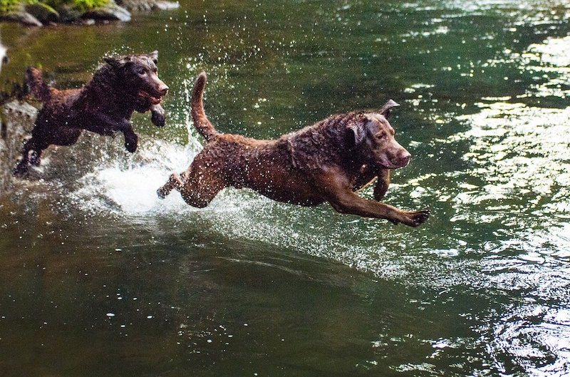 Two Chessie dogs playing in the water