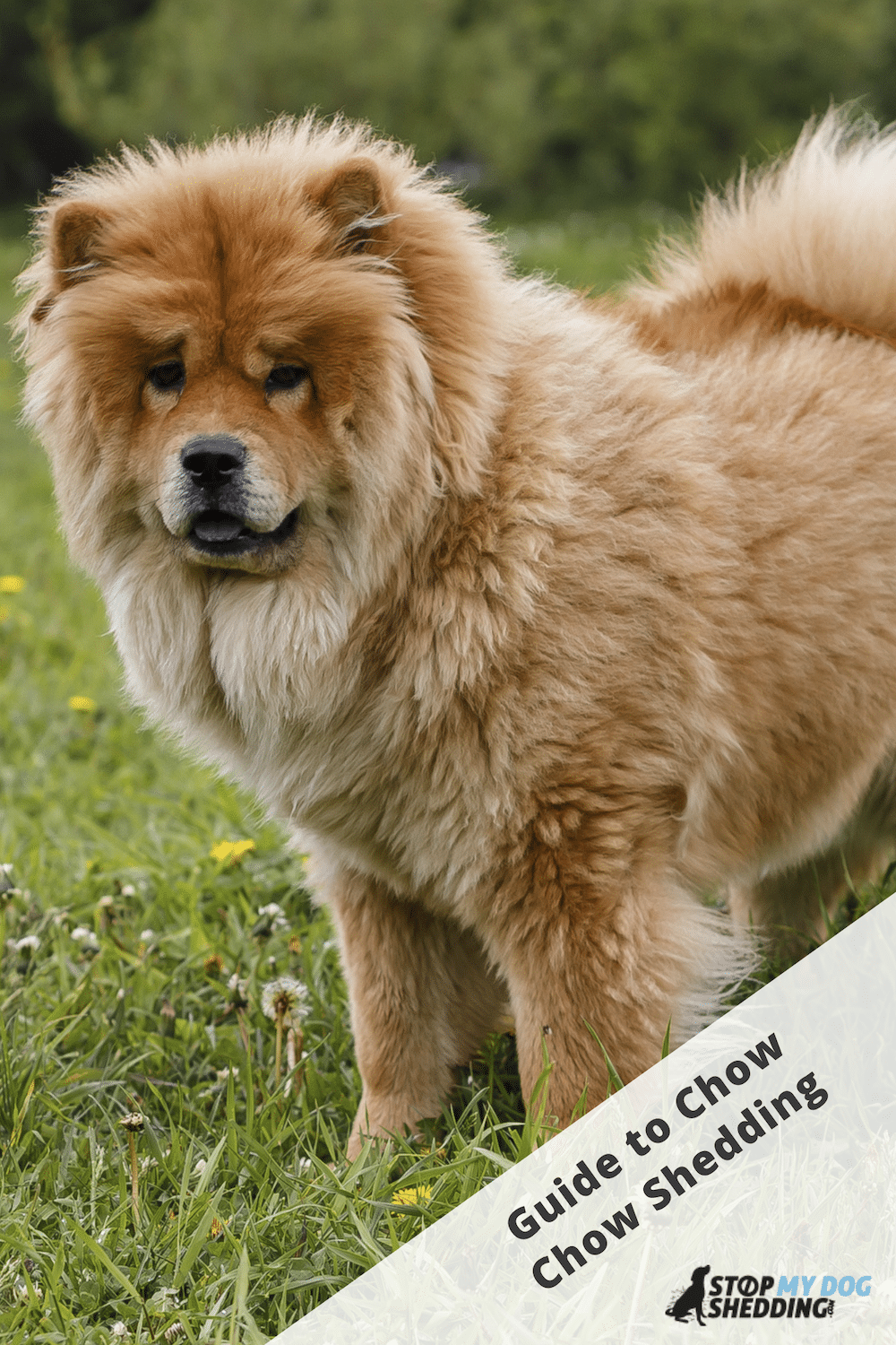 Do Chow Chows Shed? (Stop Your Chow Shedding Excessively)