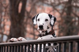 Dalmatian dog breed standing upright against a fence in the park.