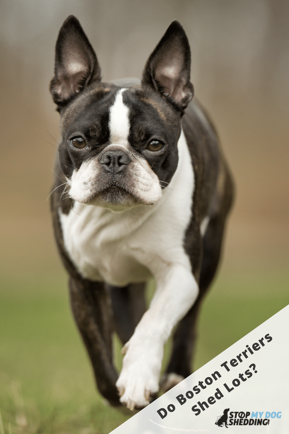 Do Boston Terriers Shed? (What to Expect)