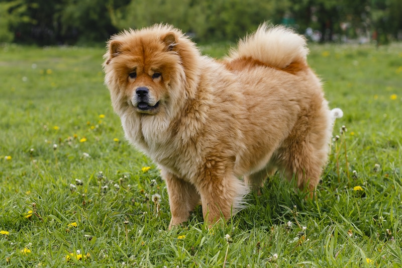 Chow Chow dog breed going for a walk on grass with natural green background.