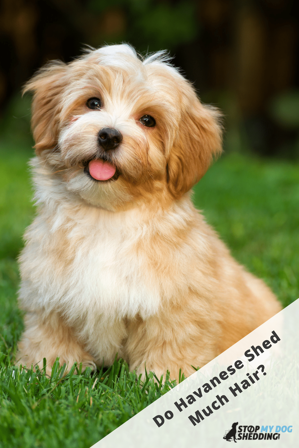 Do Havanese Dogs Shed Much?