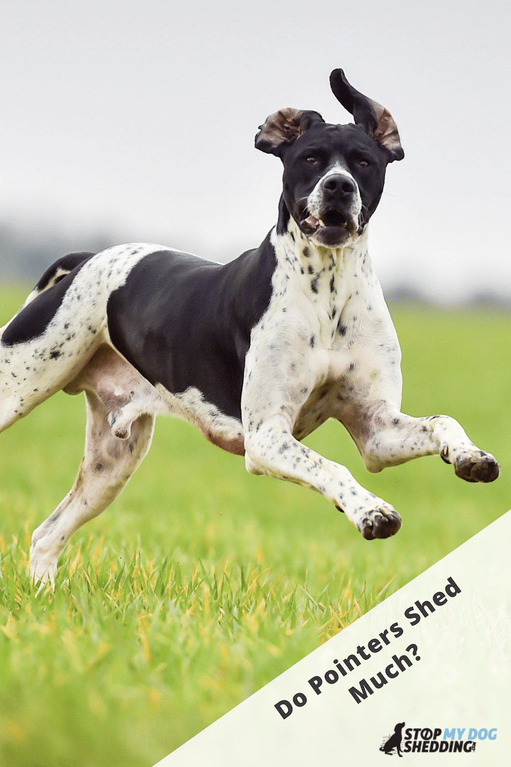 Do Pointers Shed Lots? (Guide to Pointer Shedding)