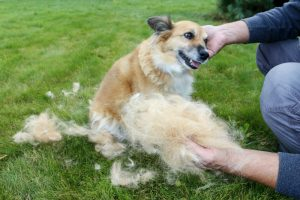 Man holding up a clump of dog fur. The dog sheds his hair (molting), and the guardian combs it.