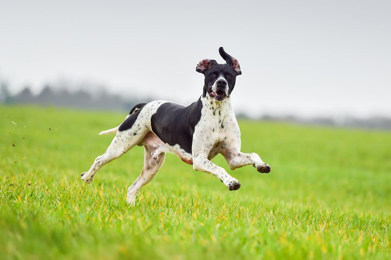 Working English Pointer hunting and running outdoors.