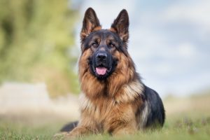 Portrait of a German Shepherd laying on green grass with trees in background.