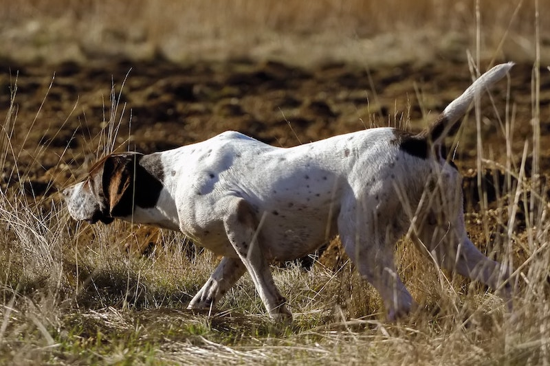 German Shorthaired Pointer pointing at prey while hunting.