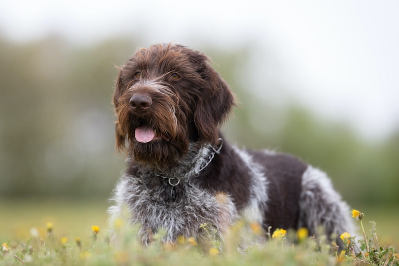 A purebred German Wirehaired Pointer dog without leash outdoors in the nature on a sunny day.