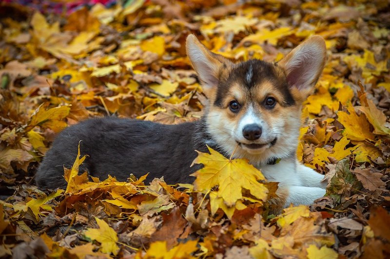 Small Pembroke dog breed laying down on pile of leafs outside.