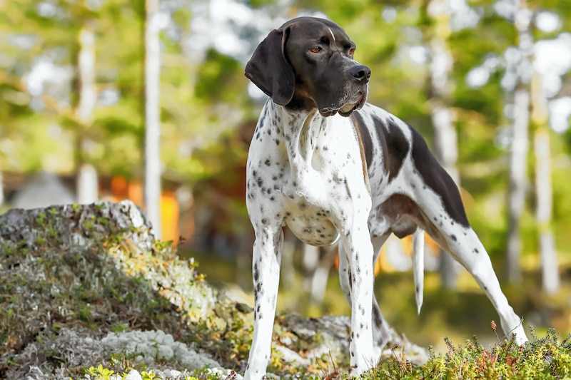 Adult Pointer dog breed standing in woods.
