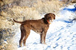 Brown Pudelpointer dog breed standing on snow covered grass.