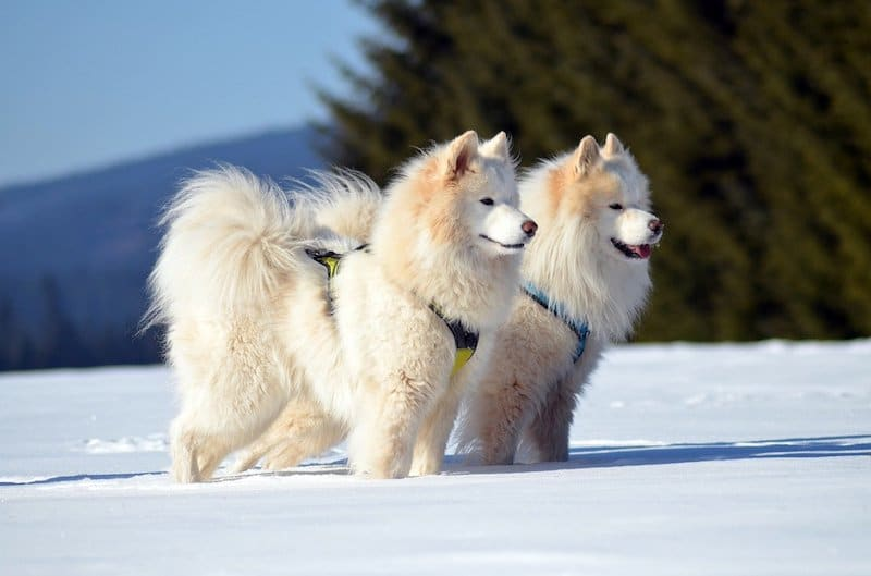 Two Samoyed dogs standing side-by-side in the snow.