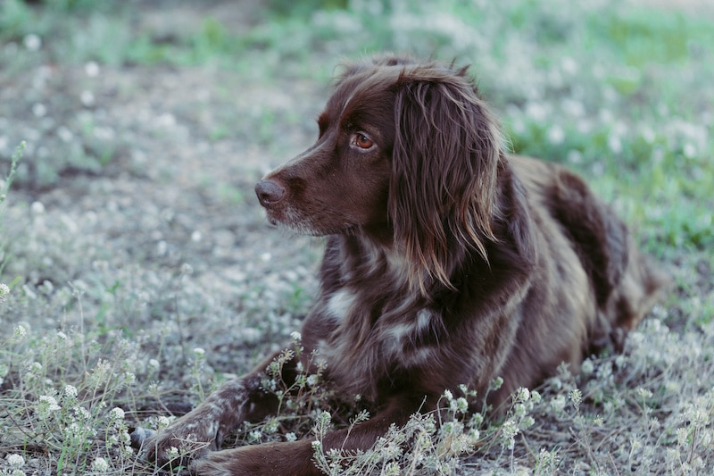 Close-up of a Small Munsterlander Pointer with a brown coat laying down outside.