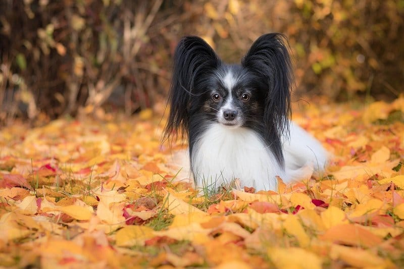 Papillon dog laying down with a frontal view illustrating how their ears are butterfly-like in appearance.