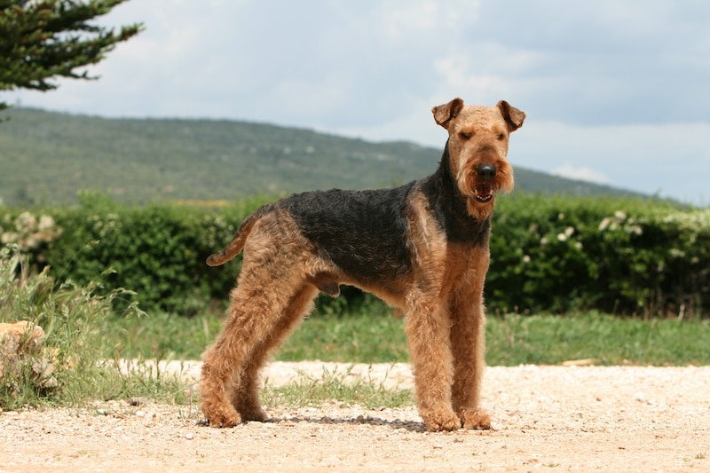 Adult Airedale Terrier dog standing outside with mountains in the background.