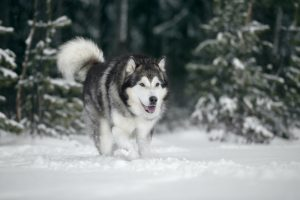 Alaskan Malamute walking in snow with trees in background.