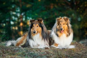 Two rough Collies lying in the park.
