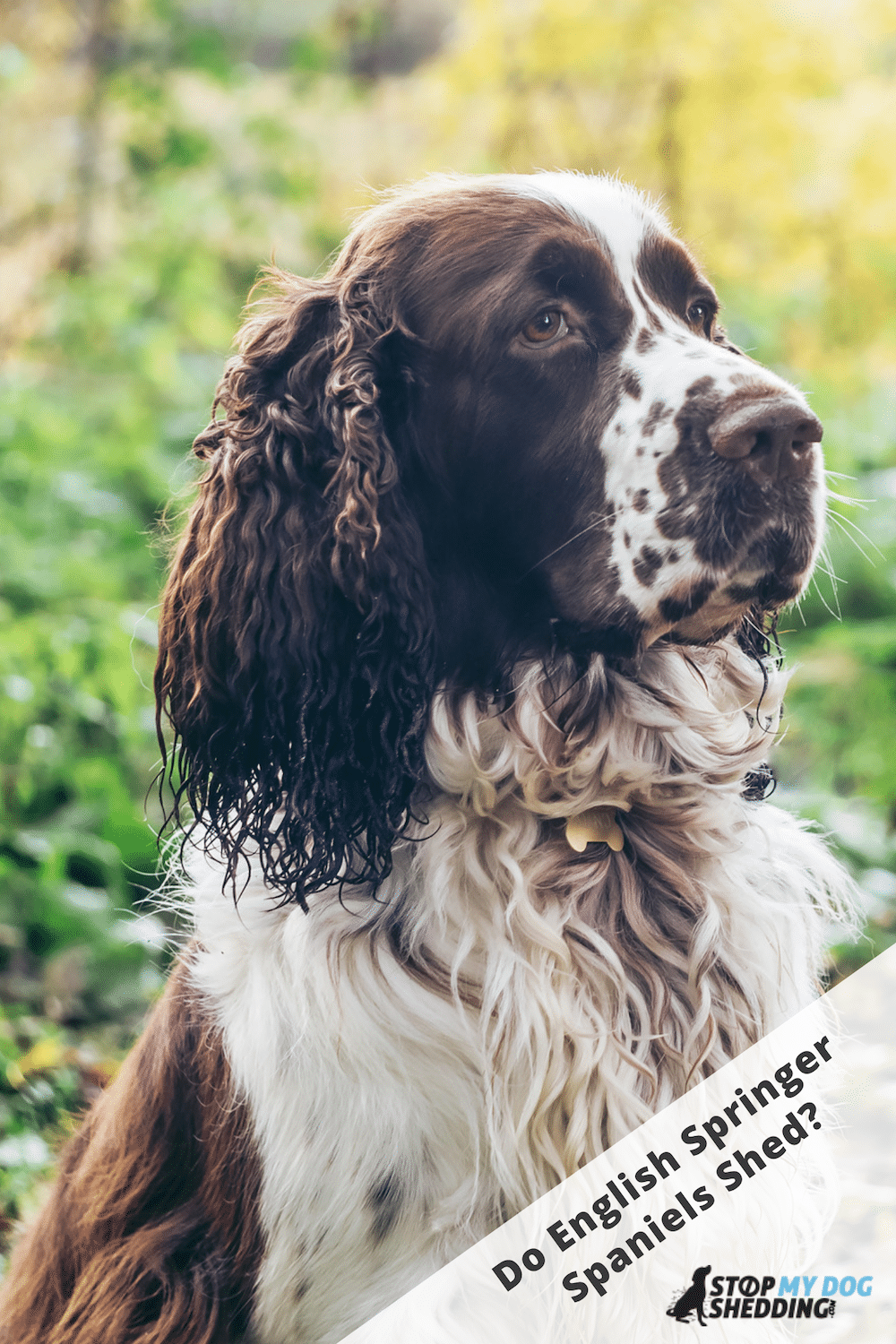 Do English Springer Spaniels Shed a Lot?