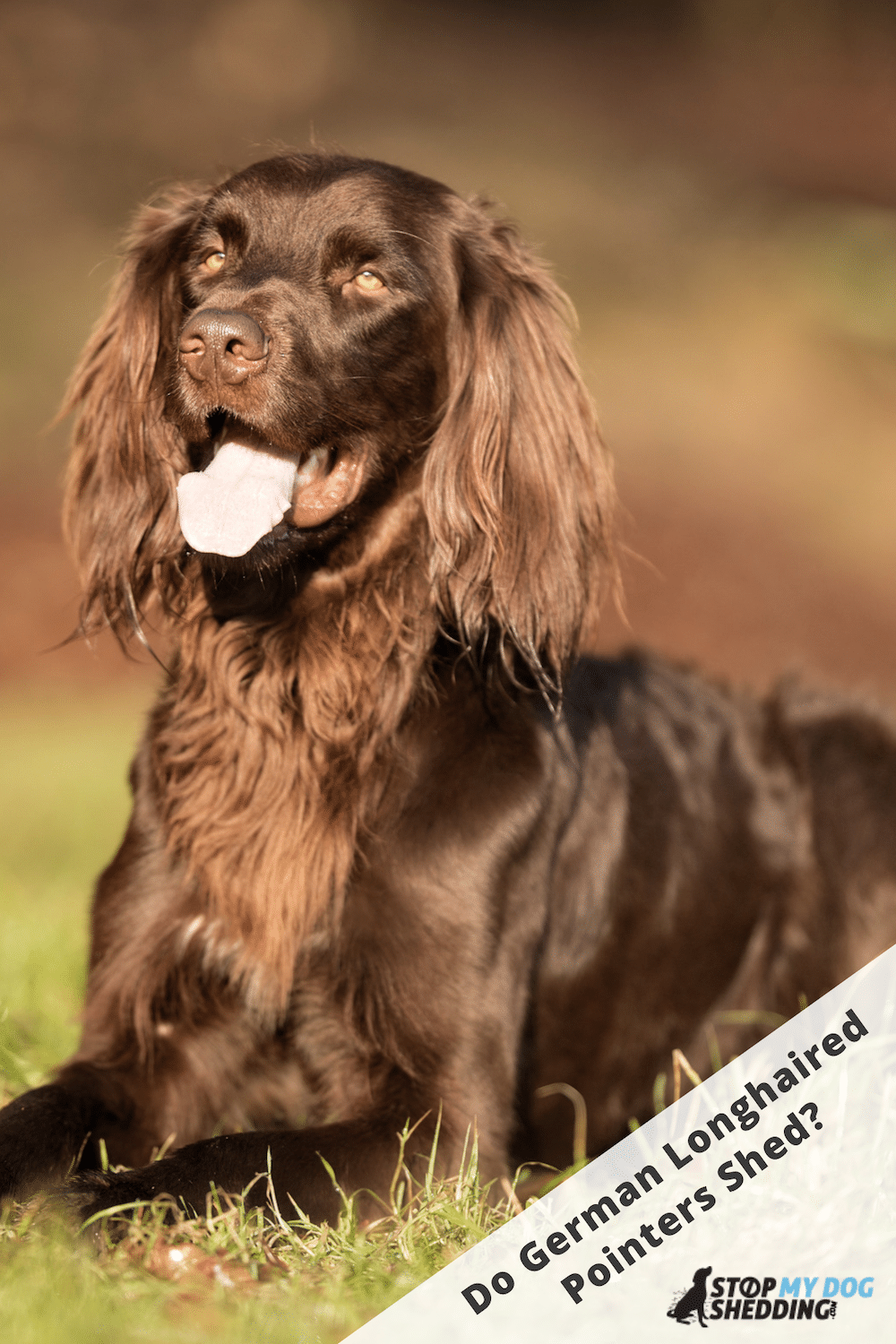 Do German Longhaired Pointers Shed Lots?