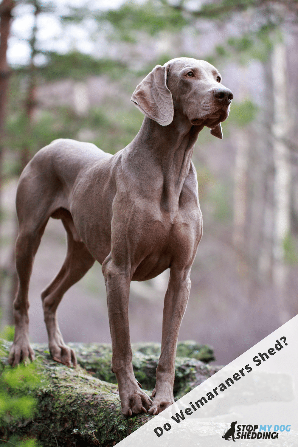 Do Weimaraners Shed Lots?