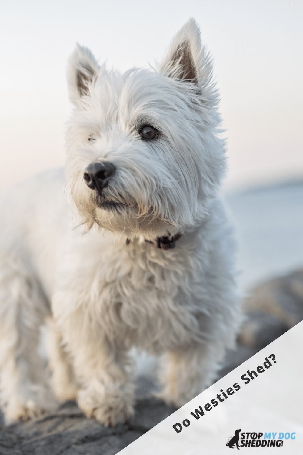 Do West Highland White Terriers Shed?