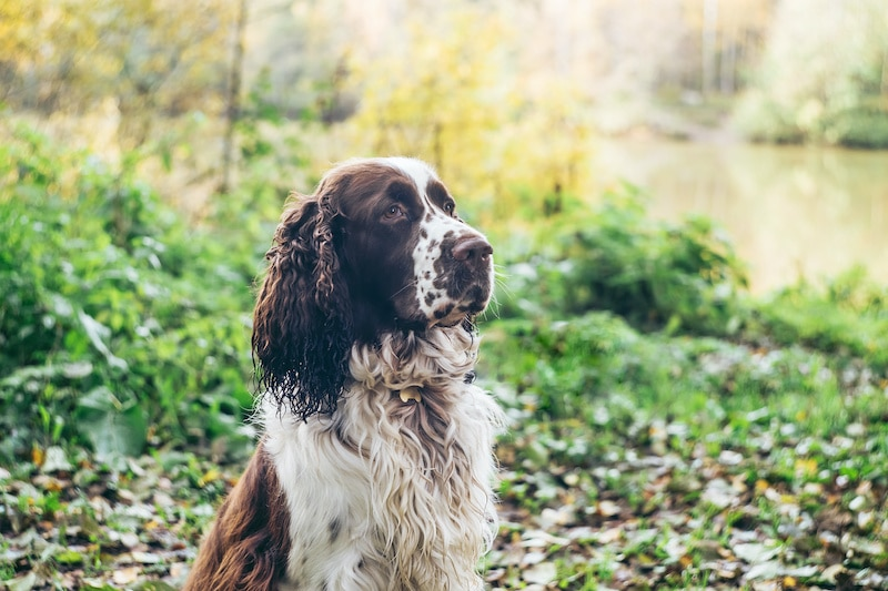 English springer spaniel sits in autumn forest. Beautiful brown and white dog hunter companion is waiting for the owners command.