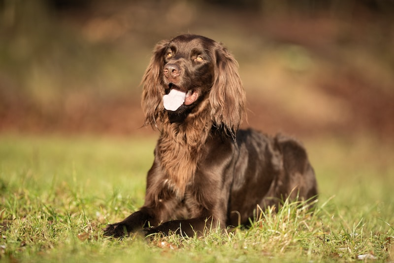 Pedigree brown German Longhaired Pointer dog outdoors on grass field on a sunny spring day.