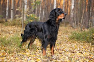 Gordon Setter hunting in the autumn forest