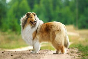 Rough collie standing outside with trees in background.