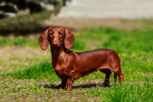 Smooth Coated Dachshund standing on green grass