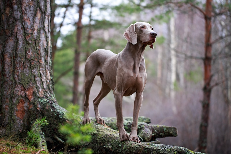 Portrait of a Weimaraner dog standing on a rock in the woods.