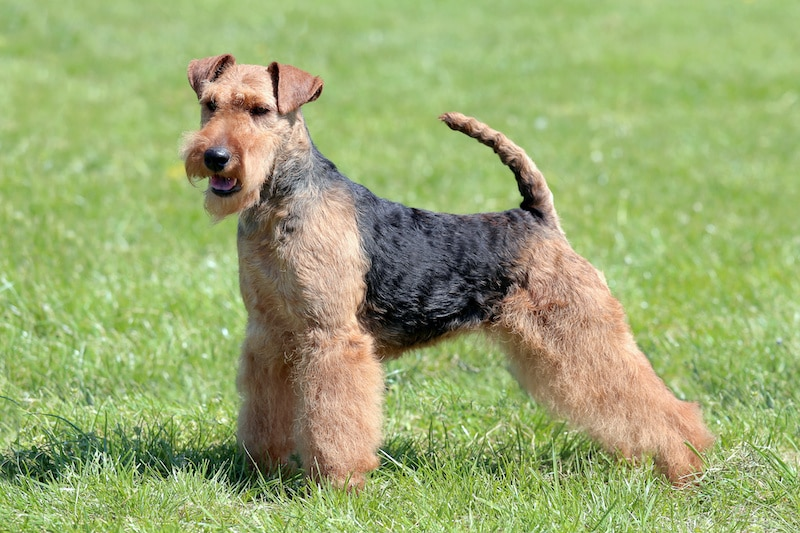 Typical Welsh Terrier standing on green grass