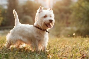 Portrait of One West Highland White Terrier in the Park