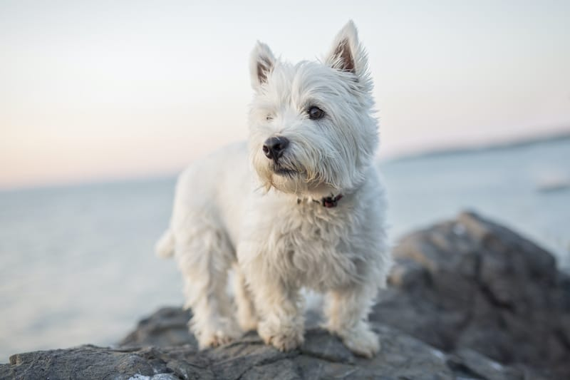 Westie dog breed standing on rock with water in background.