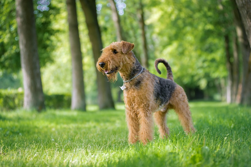 Airedale Terrier stands in a rack on the grass in the alley of trees.